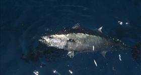 La tonyina Roja del Mediterrani
