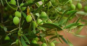 2. El cultivo del olivo y algarrobo (Ruta de los olivos)