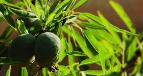 4. Cultivo del almendro (Ruta de los olivos)